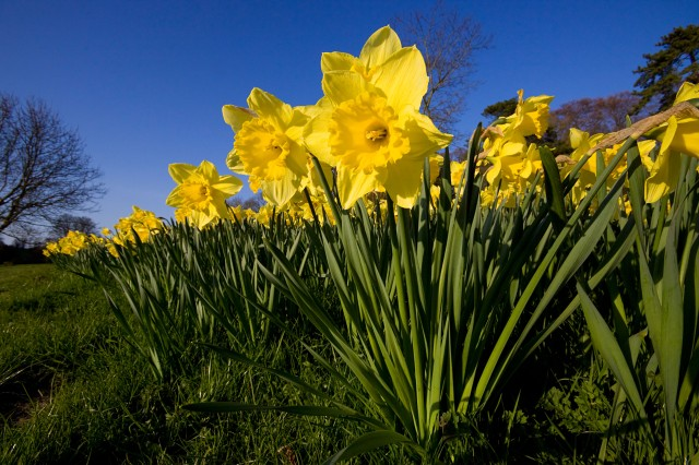 BP9CWH Daffodils Daffodil Narcissus